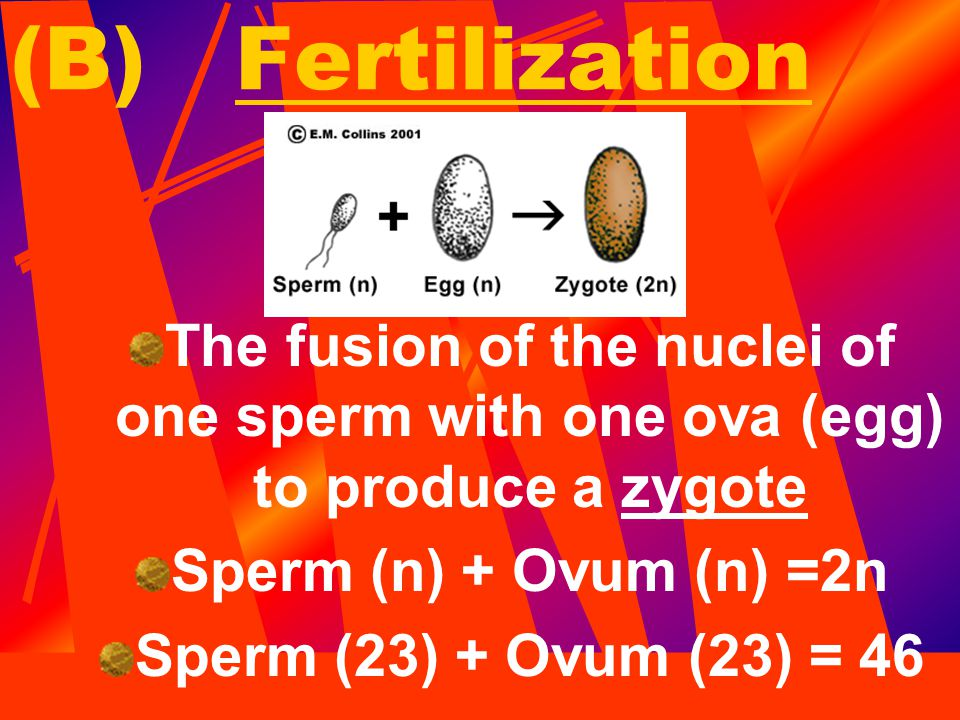 (B) Fertilization The fusion of the nuclei of one sperm with one ova (egg) to produce a zygote. Sperm (n) + Ovum (n) =2n.