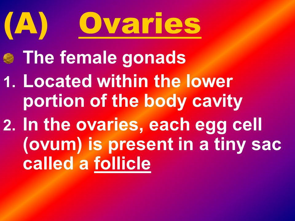 (A) Ovaries The female gonads