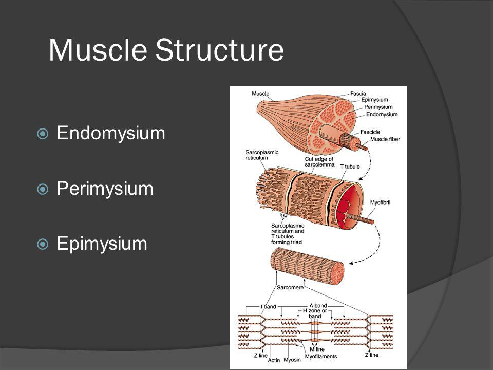 Muscle Structure Endomysium Perimysium Epimysium