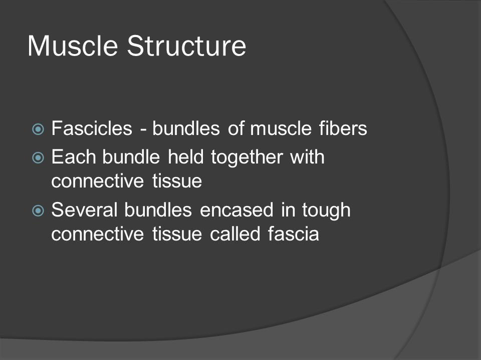 Muscle Structure Fascicles - bundles of muscle fibers