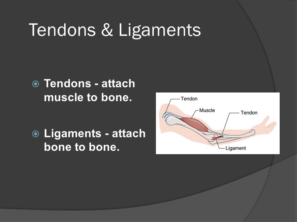 Tendons & Ligaments Tendons - attach muscle to bone.