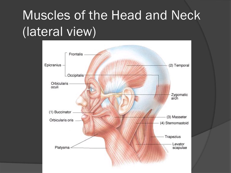 Muscles of the Head and Neck (lateral view)