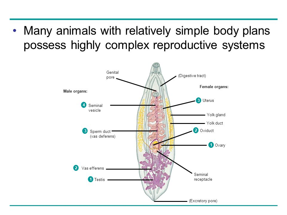 Many animals with relatively simple body plans possess highly complex reproductive systems