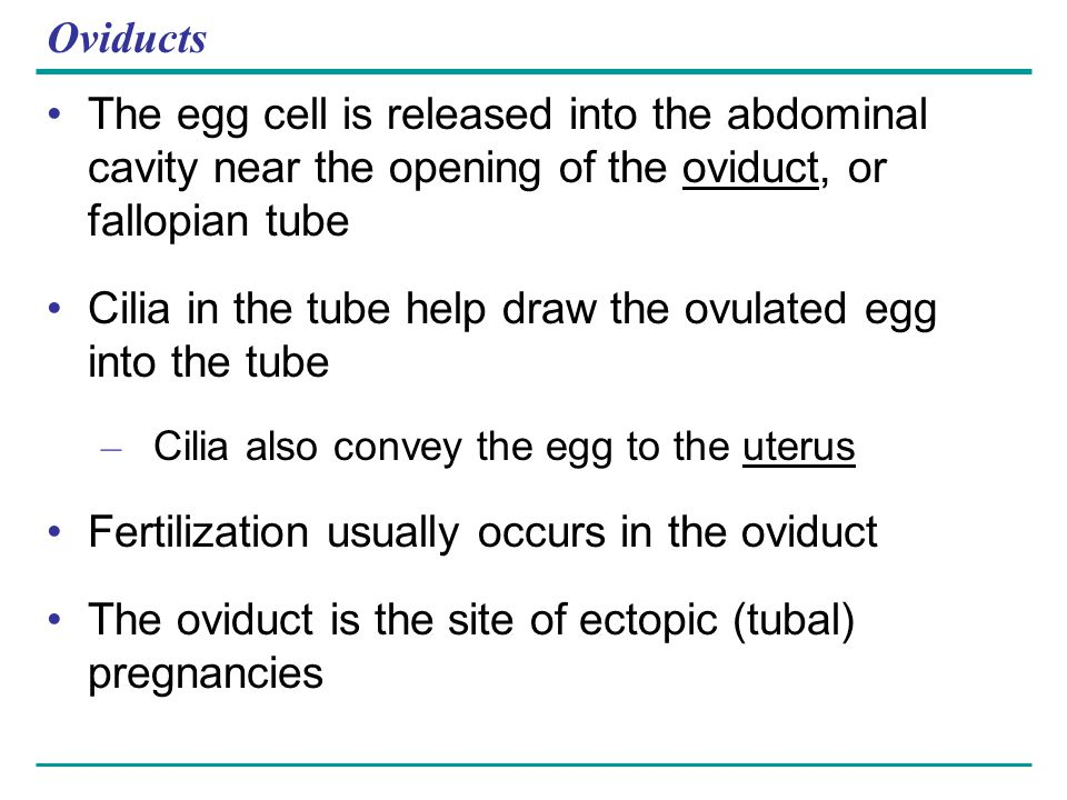 Cilia in the tube help draw the ovulated egg into the tube