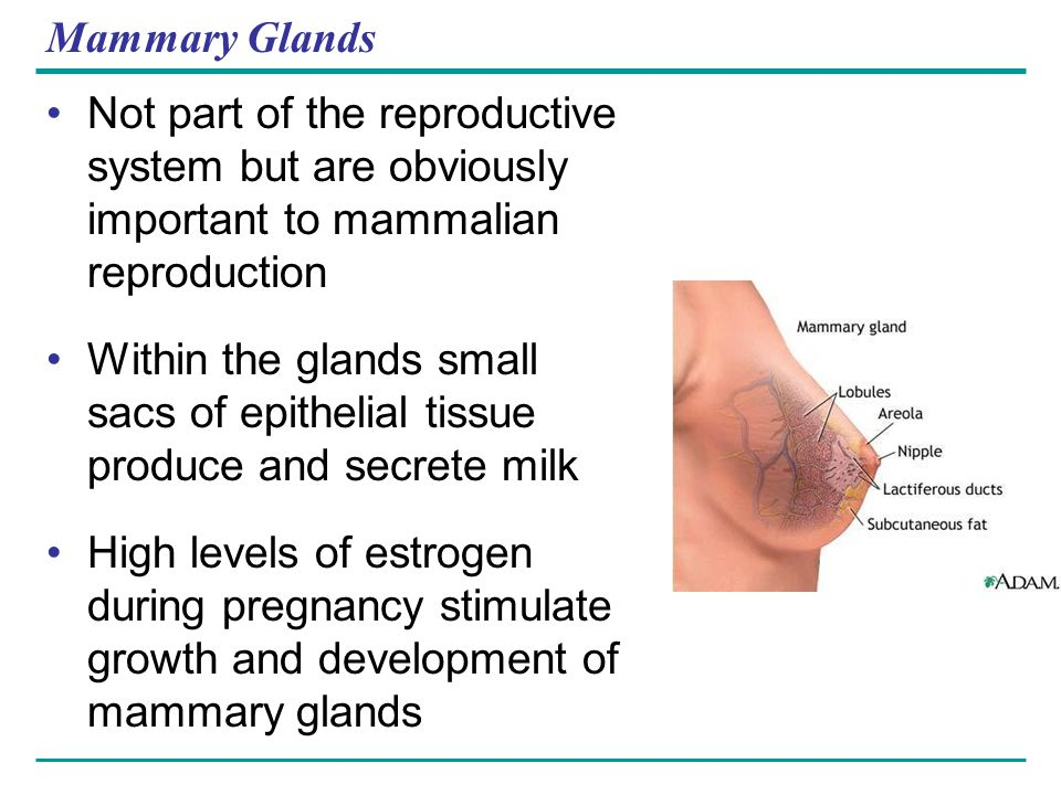 Mammary Glands Not part of the reproductive system but are obviously important to mammalian reproduction.