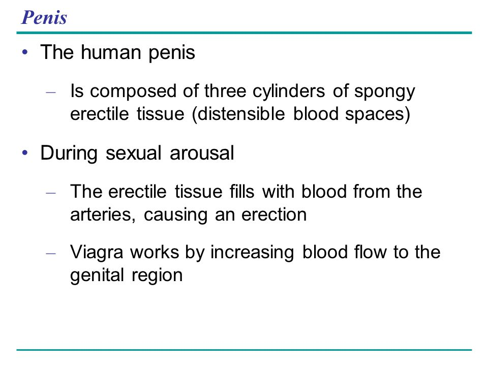 Penis The human penis During sexual arousal