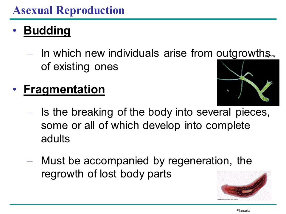 Asexual Reproduction Budding Fragmentation