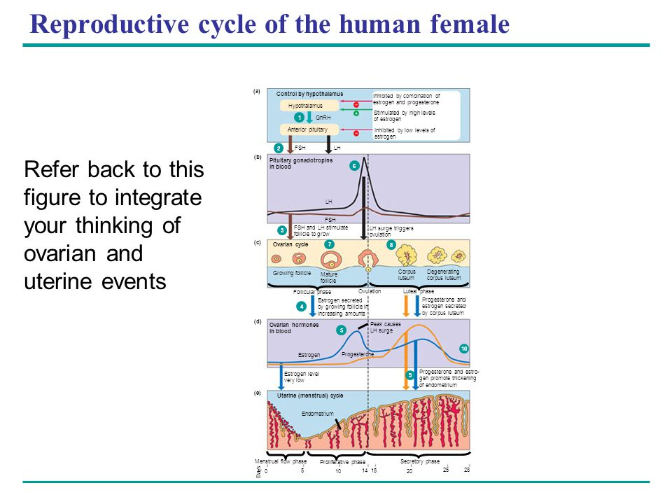 Reproductive cycle of the human female