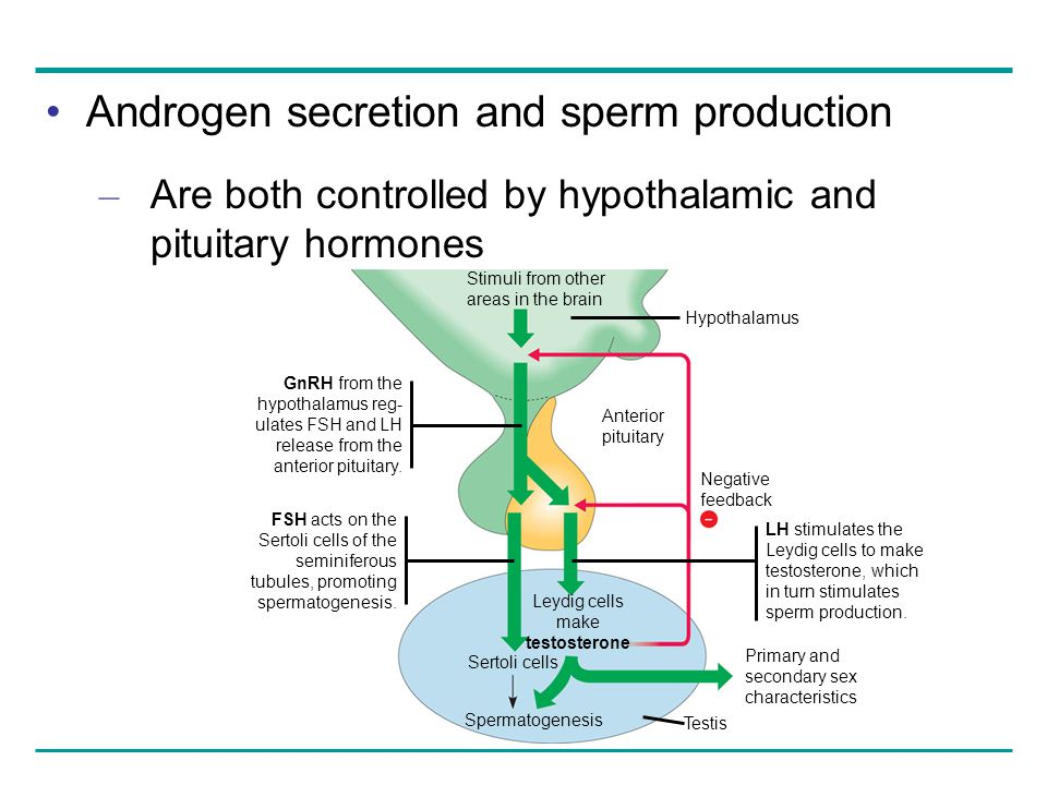 Androgen secretion and sperm production