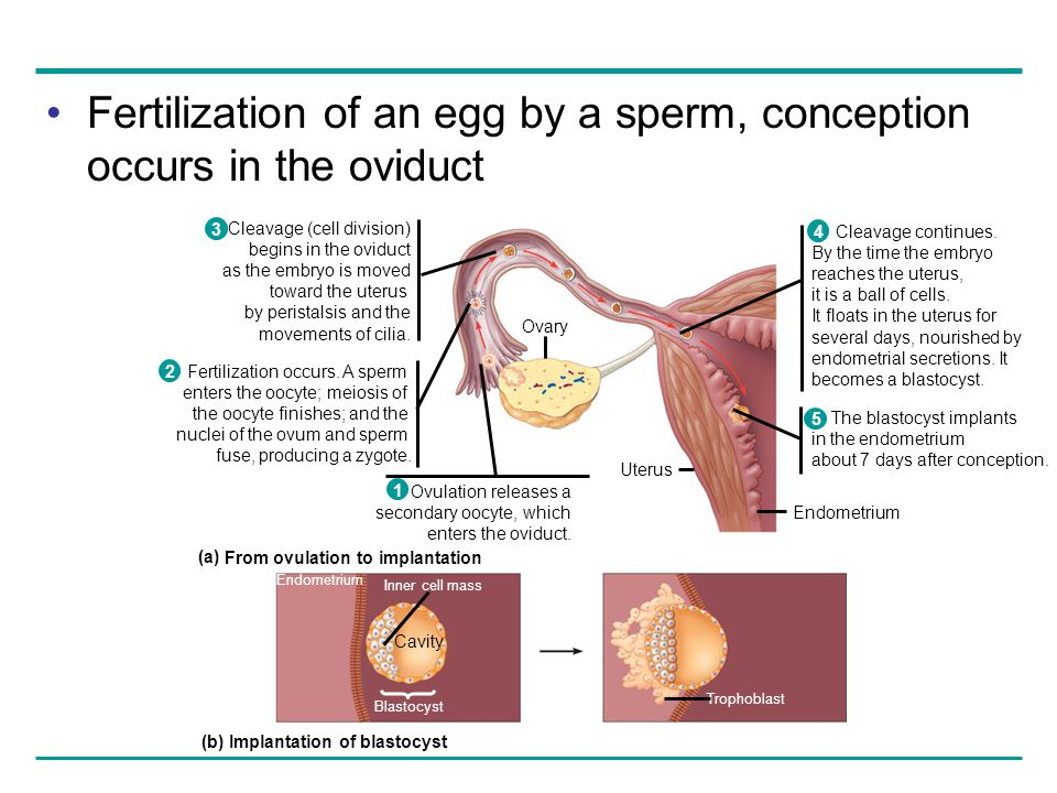 From ovulation to implantation Implantation of blastocyst
