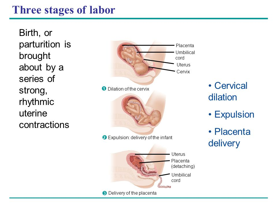 Three stages of labor Birth, or parturition is brought about by a series of strong, rhythmic uterine contractions.