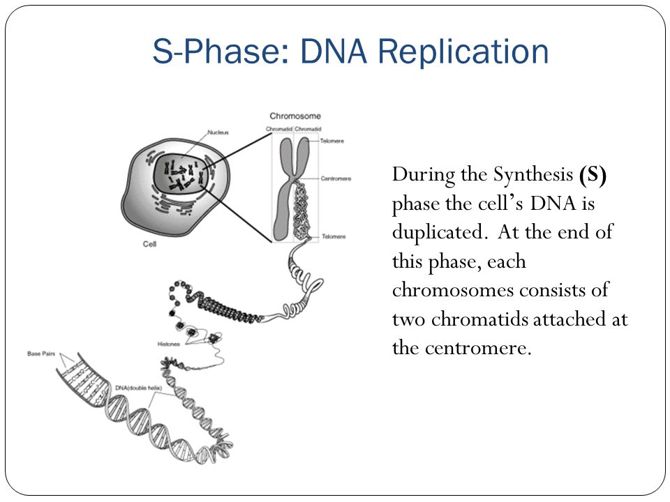 S-Phase: DNA Replication
