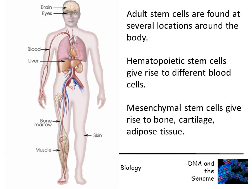Adult stem cells are found at several locations around the body.