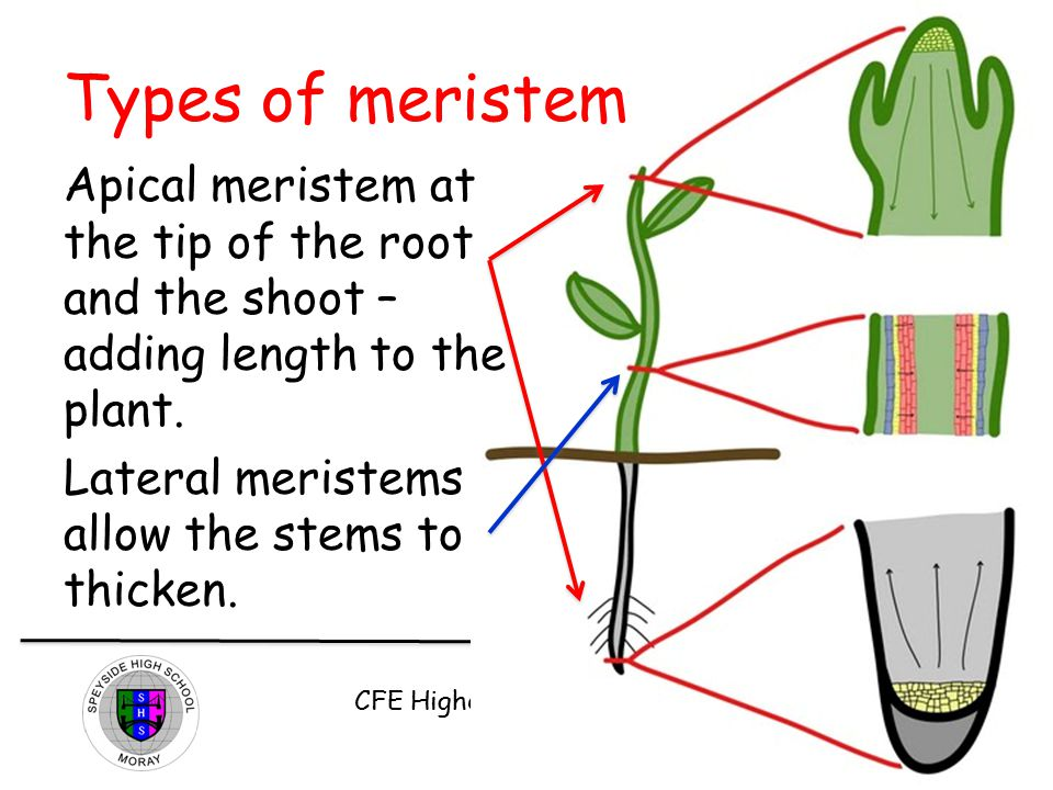 Types of meristem Apical meristem at the tip of the root and the shoot – adding length to the plant.