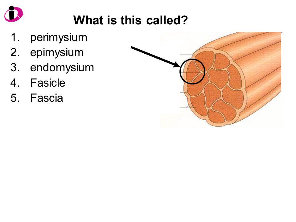 What is this called perimysium epimysium endomysium Fasicle Fascia