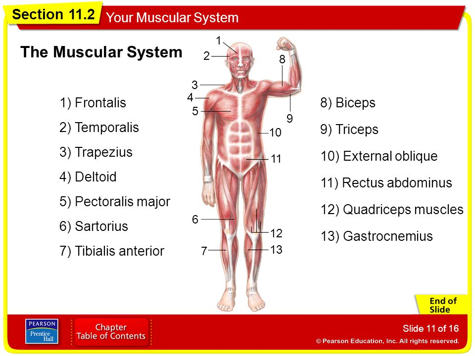 The Muscular System 1) Frontalis 8) Biceps 2) Temporalis 9) Triceps