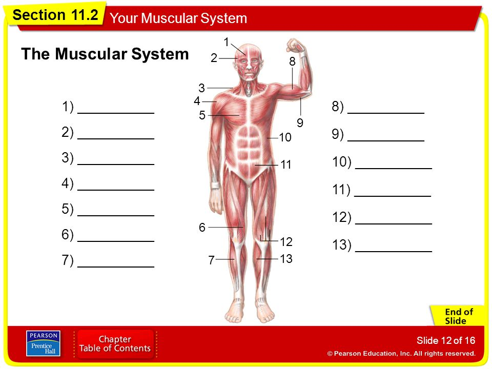 The Muscular System 1) __________ 8) __________ 2) __________