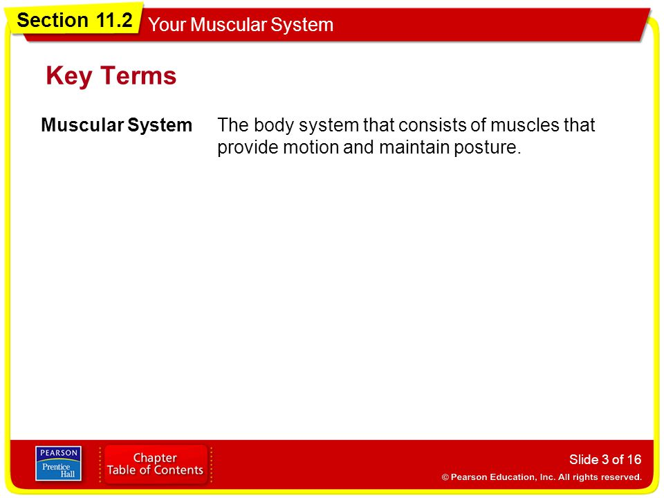 Key Terms Muscular System