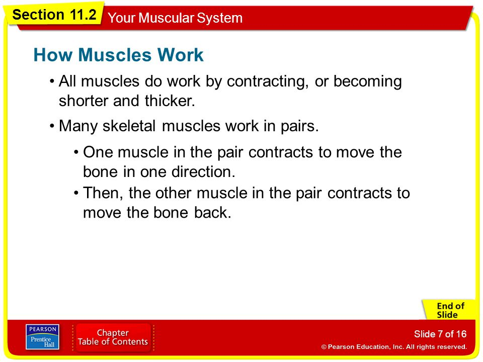 How Muscles Work All muscles do work by contracting, or becoming shorter and thicker. Many skeletal muscles work in pairs.