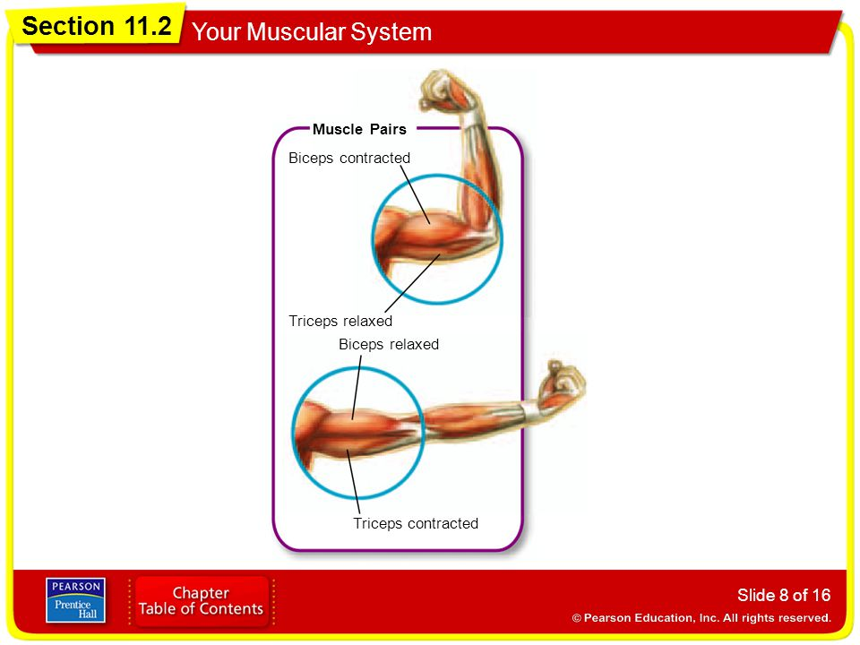 Muscle Pairs Biceps contracted Triceps relaxed Biceps relaxed Triceps contracted