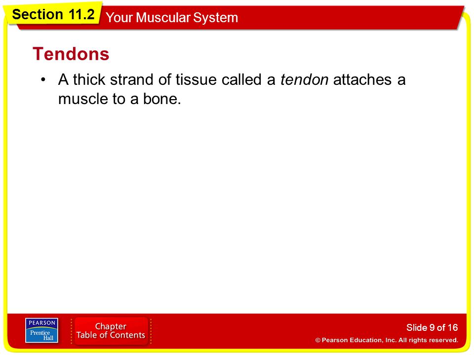 Tendons A thick strand of tissue called a tendon attaches a muscle to a bone.