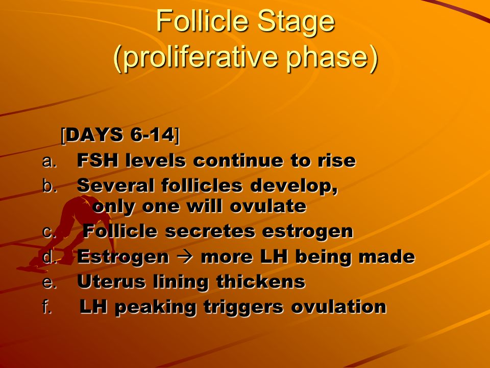 Follicle Stage (proliferative phase)