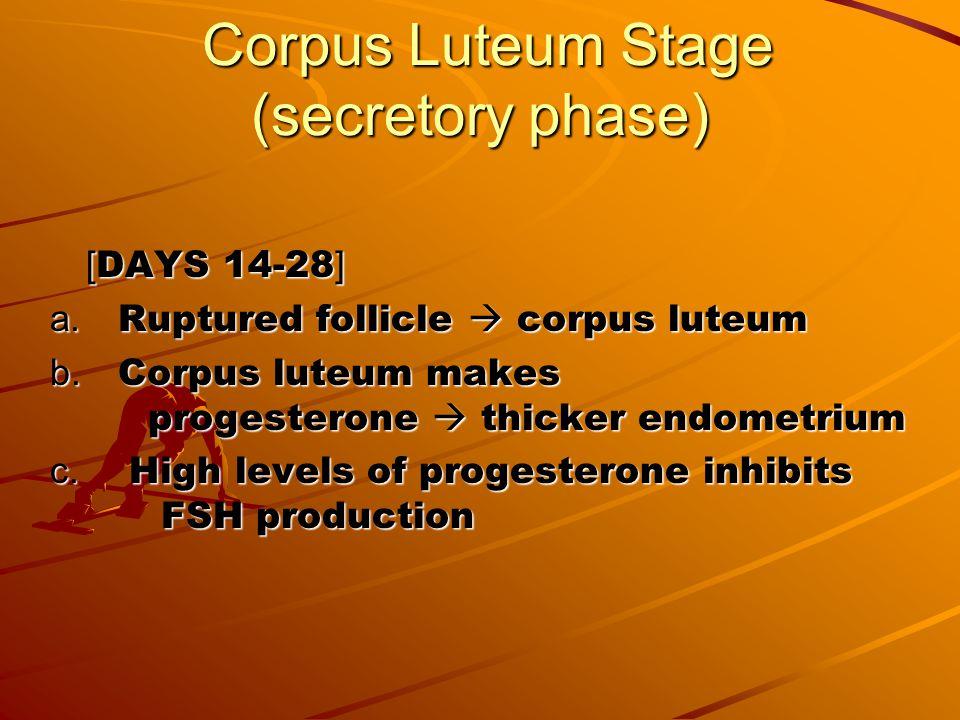 Corpus Luteum Stage (secretory phase)