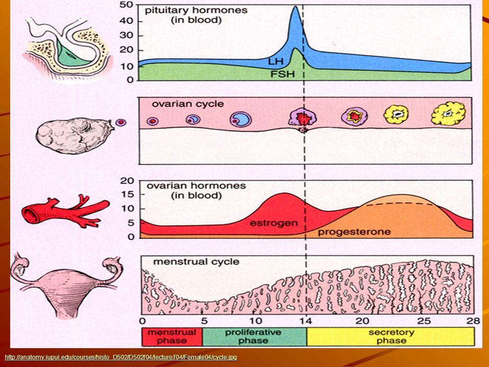 Menstrual Cycle http://anatomy.iupui.edu/courses/histo_D502/D502f04/lecture.f04/Female04/cycle.jpg