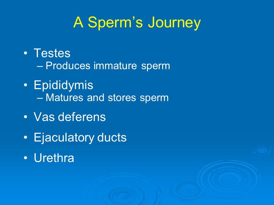 A Sperm's Journey Testes Epididymis Vas deferens Ejaculatory ducts