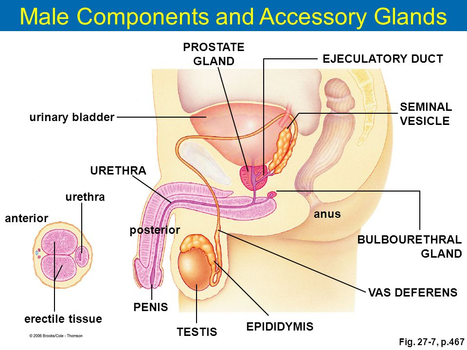 Male Components and Accessory Glands