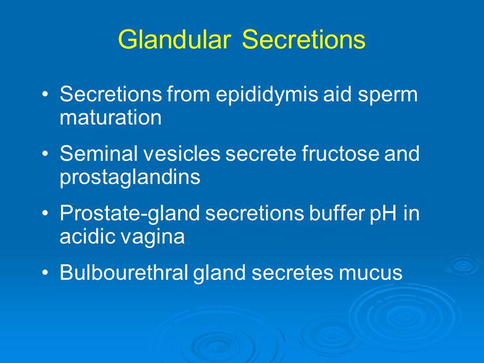 Glandular Secretions Secretions from epididymis aid sperm maturation