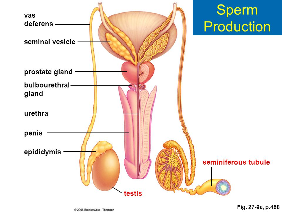 Sperm Production vas deferens seminal vesicle prostate gland
