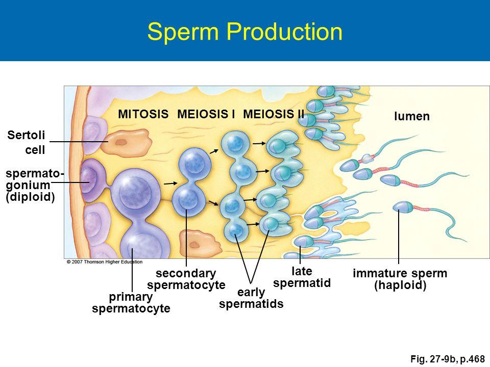 secondary spermatocyte immature sperm (haploid)