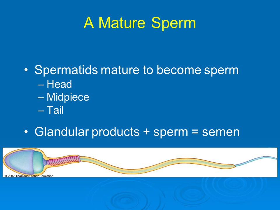 A Mature Sperm Spermatids mature to become sperm