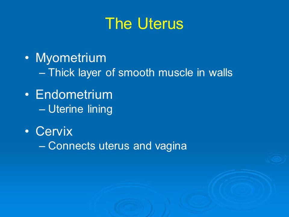 The Uterus Myometrium Endometrium Cervix