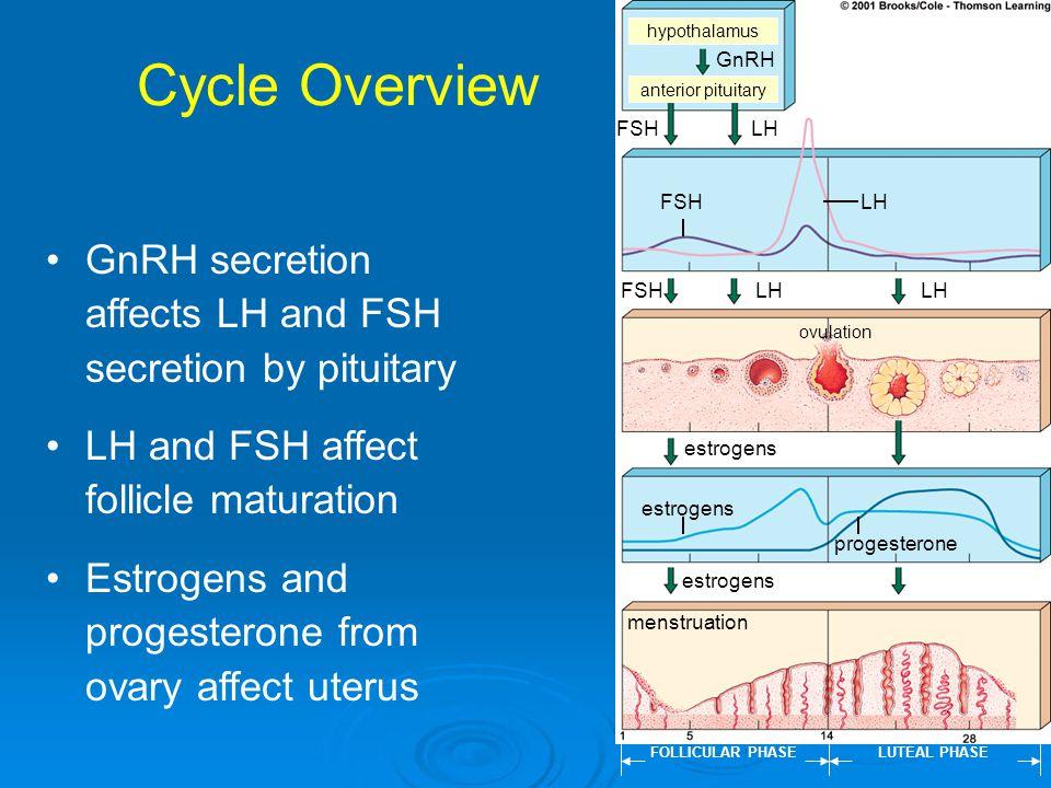Cycle Overview hypothalamus. GnRH. anterior pituitary. FSH. LH. FSH. LH. GnRH secretion affects LH and FSH secretion by pituitary.