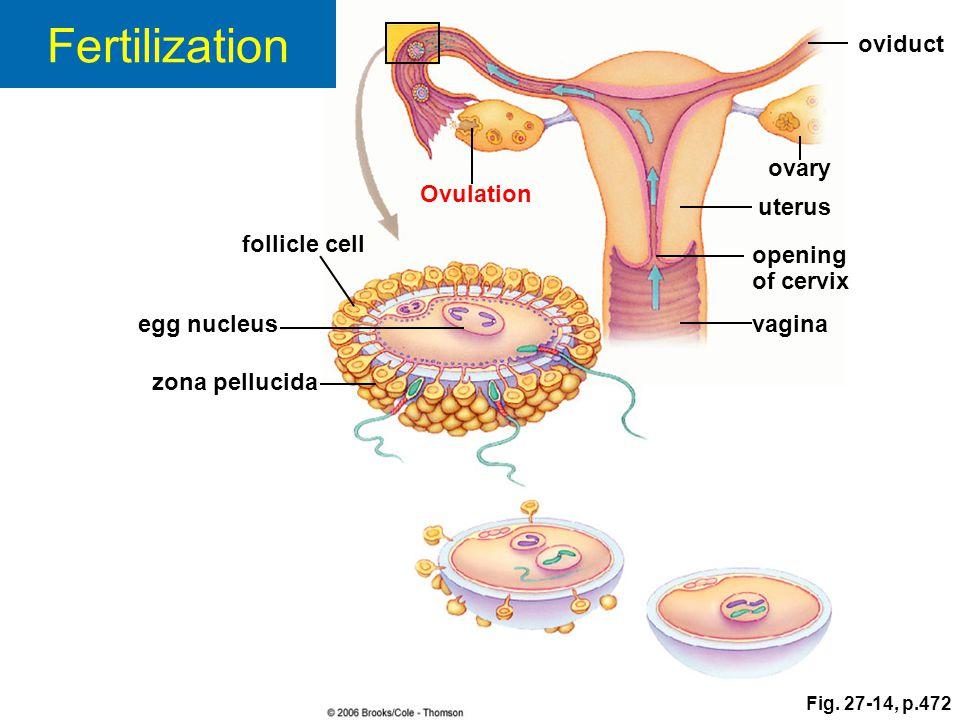 Fertilization oviduct ovary Ovulation uterus follicle cell