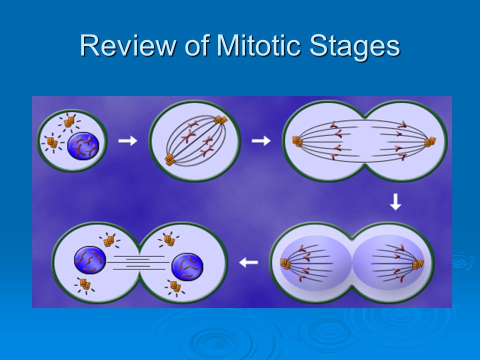 Review of Mitotic Stages