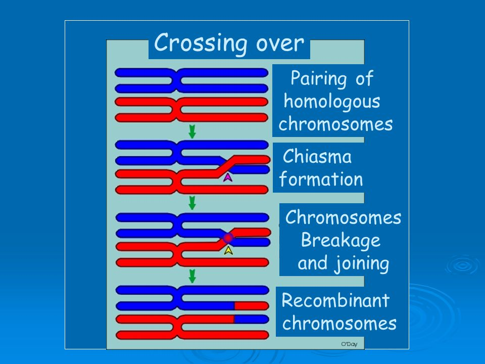 Crossing over Pairing of homologous chromosomes Chiasma formation