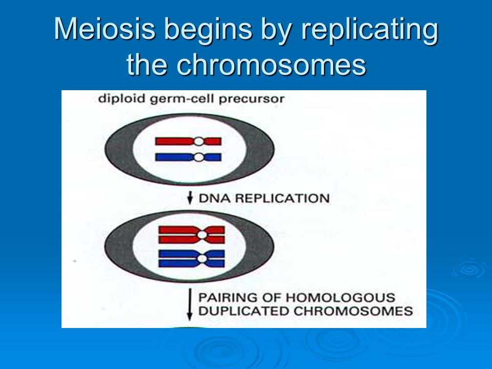 Meiosis begins by replicating the chromosomes