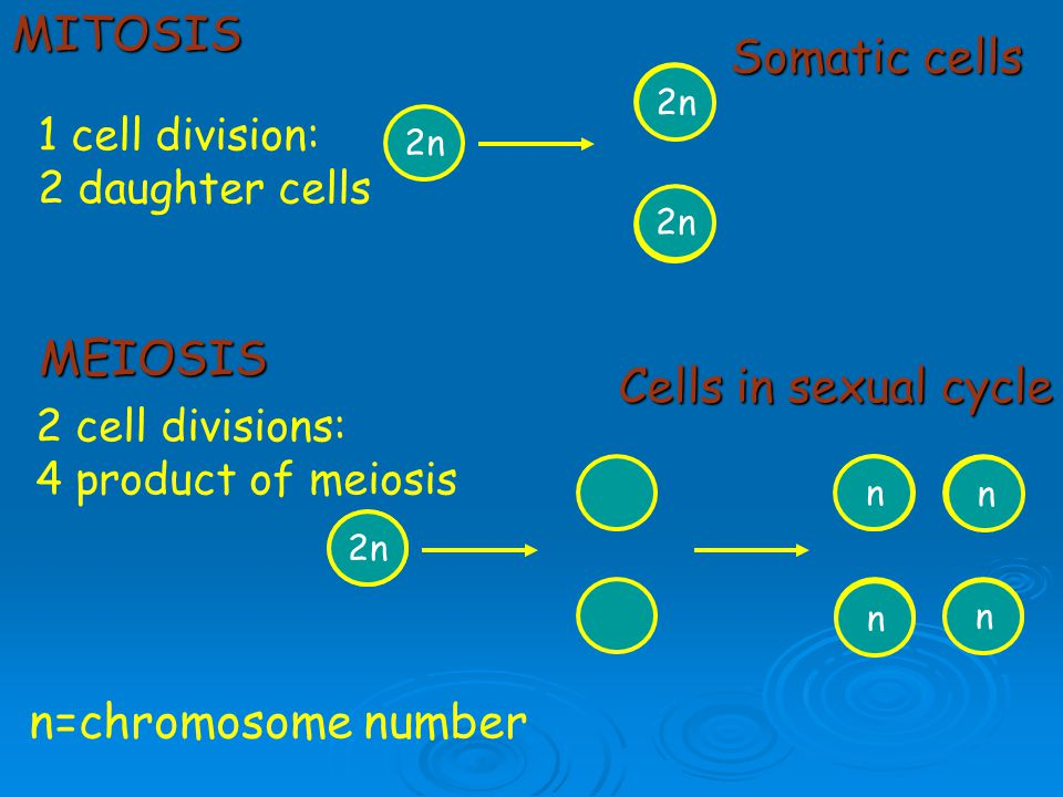 MITOSIS Somatic cells MEIOSIS Cells in sexual cycle