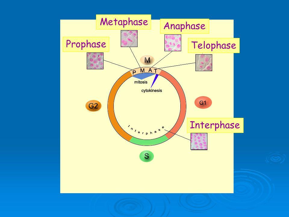 Prophase Metaphase Anaphase Telophase Interphase