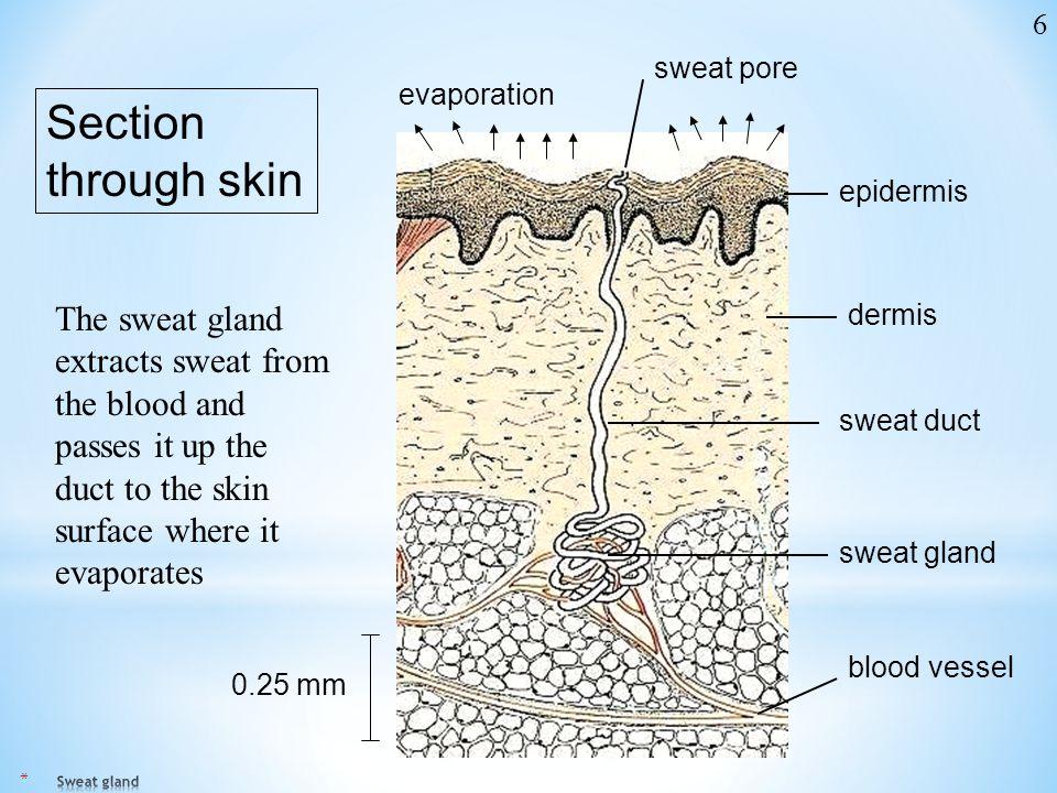 6 sweat pore. evaporation. Section through skin. epidermis.