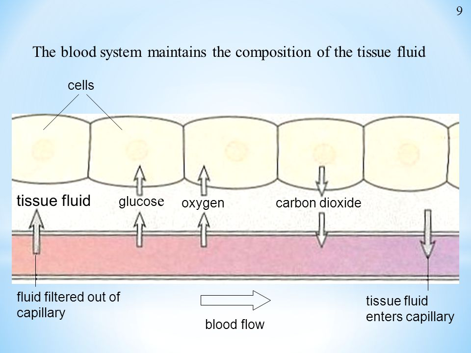 The blood system maintains the composition of the tissue fluid