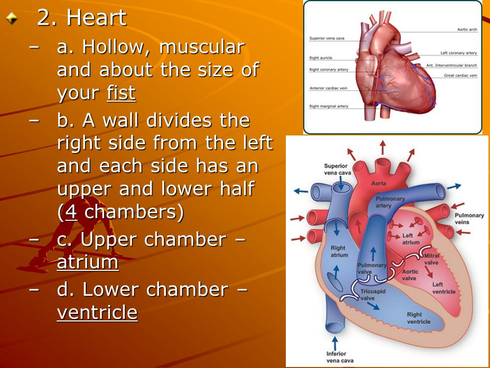 2. Heart a. Hollow, muscular and about the size of your fist