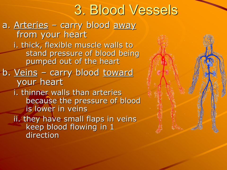 3. Blood Vessels a. Arteries – carry blood away from your heart