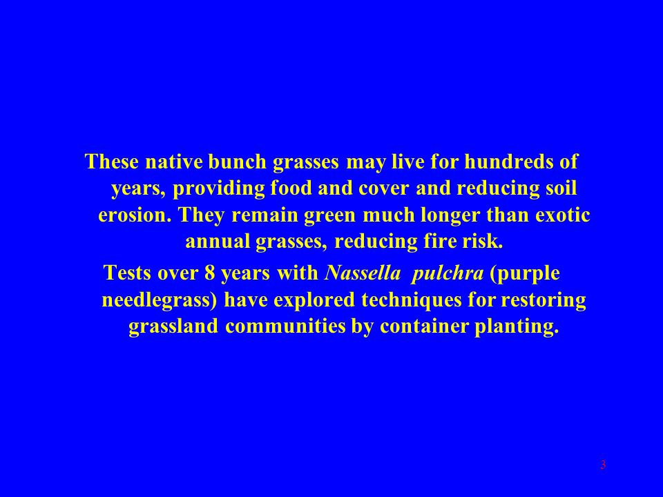 These native bunch grasses may live for hundreds of years, providing food and cover and reducing soil erosion. They remain green much longer than exotic annual grasses, reducing fire risk.