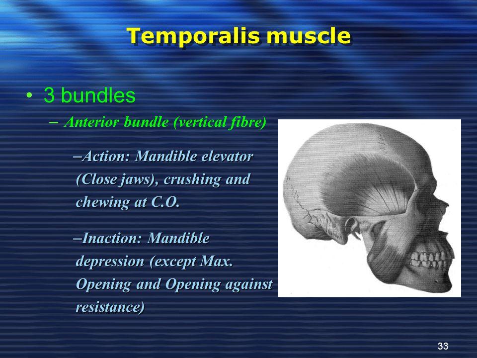 Temporalis muscle 3 bundles Anterior bundle (vertical fibre)