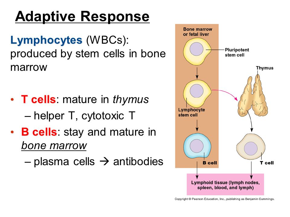 Adaptive Response Lymphocytes (WBCs): produced by stem cells in bone marrow. T cells: mature in thymus.
