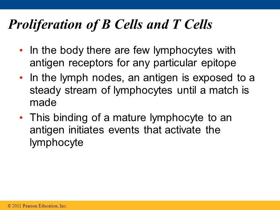 Proliferation of B Cells and T Cells